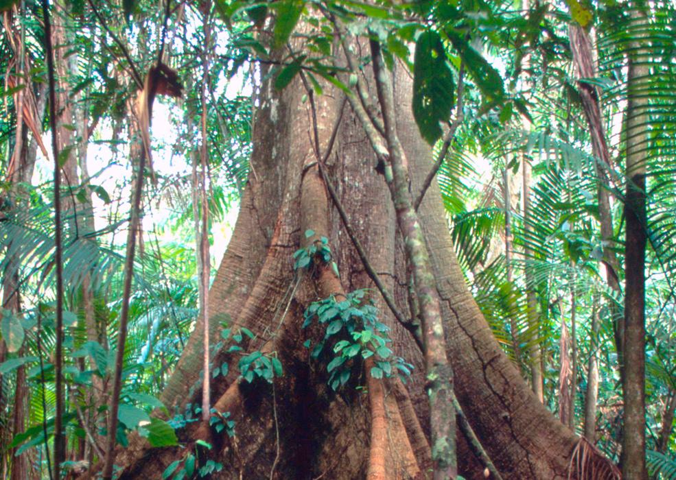 amazon-tree